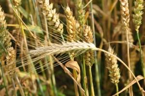 Gluten kommt in Getreide vor.